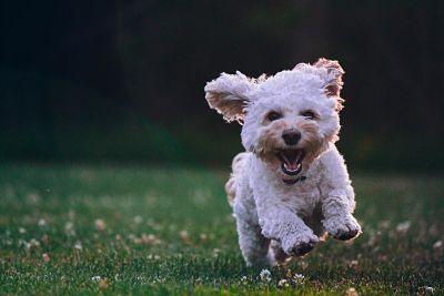 Klein wit hondje